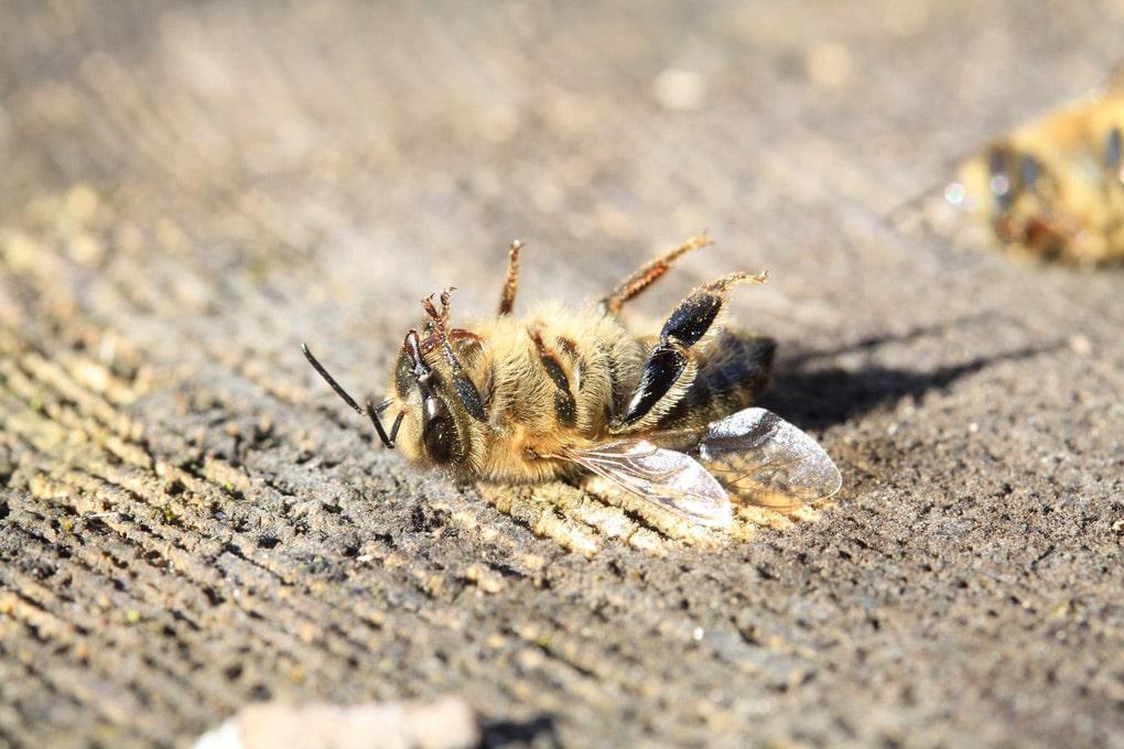 abeille-disparition